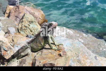 Tropical iguana on the rocks - Stock Photo