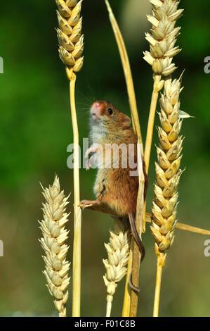 One tiny harvest mouse climbing on the stalks of corn UK - Stock Photo