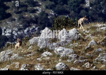 Italian Wolf (Canis lupus italicus), Abruzzo, Lazio and Molise National Park, Italy. - Stock Photo