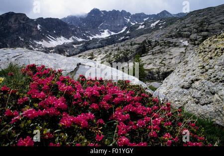 Flowering bushes of Rhododendron, Vallee des Merveilles, Mercantour National Park (Parc national du Mercantour), - Stock Photo