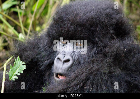 Young mountain gorilla (beringei beringei) in Volcanoes National Park, Rwanda - Stock Photo