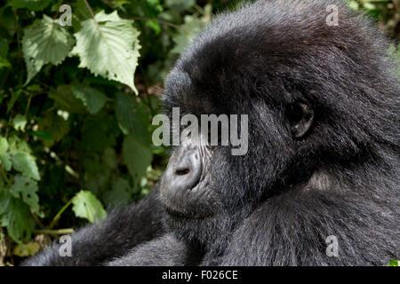 Young mountain gorilla (beringei beringei) in the wild, Volcanoes National Park, Rwanda - Stock Photo