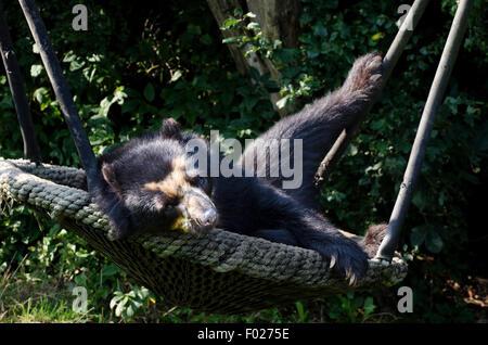 spectacled bear tremarctos ornatus vienna zoo austria - Stock Photo