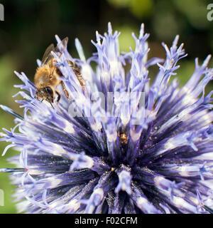 closeup of bee on purple thistle or Echinops bannaticus - Stock Photo