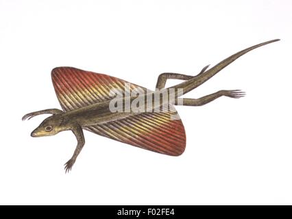 Zoology - Reptiles - Flying lizard (Draco volans) - Art work by Simon Turvey - Stock Photo