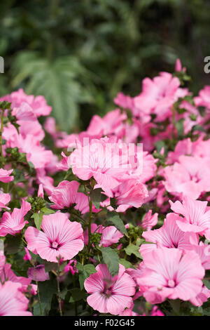 Lavatera trimestris growing in an herbaceous border. - Stock Photo