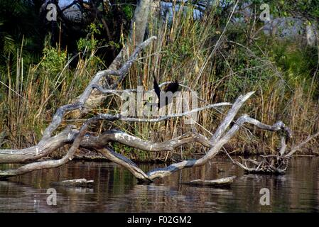African Darter or Snakebird (Anhinga rufa) along a river in the Kafue National Park Zambia. - Stock Photo