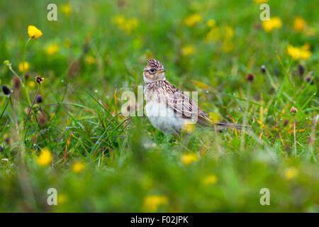 Skylark Alauda arvensis feeding in machair grassland North Uist Hebrides - Stock Photo