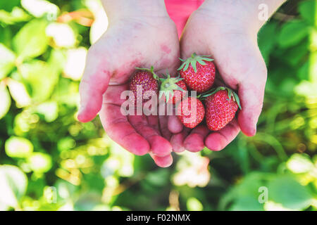Close-up of a boy's stained hands holding freshly picked strawberries, USA - Stock Photo