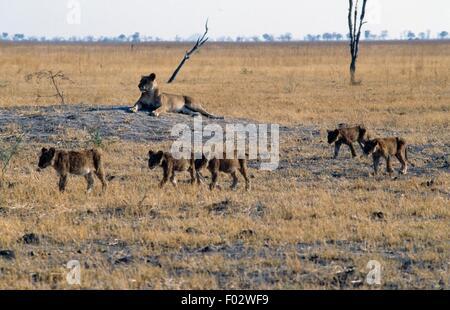 Lioness (Panthera leo) with cubs, Savuti marsh area, Chobe National Park, Botswana. - Stock Photo