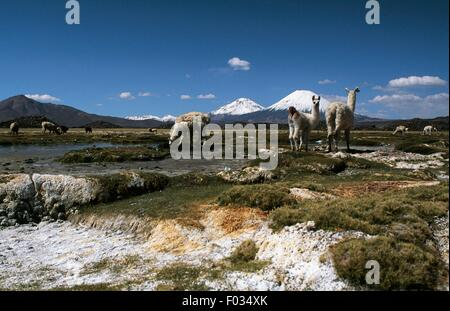 Guanacos with volcanoes Parinacota and Pomerape in the background, Lauca National Park (UNESCO World Heritage List, - Stock Photo