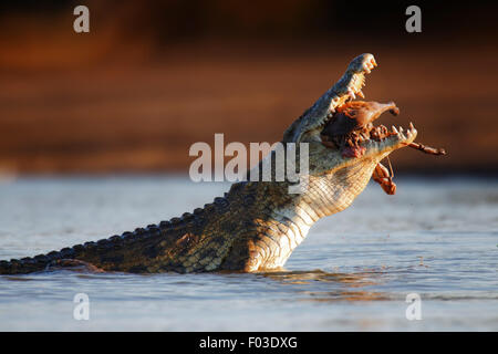 Nile crocodile (crocodylus niloticus) swollowing an Impala - Kruger National Park (South Africa) - Stock Photo