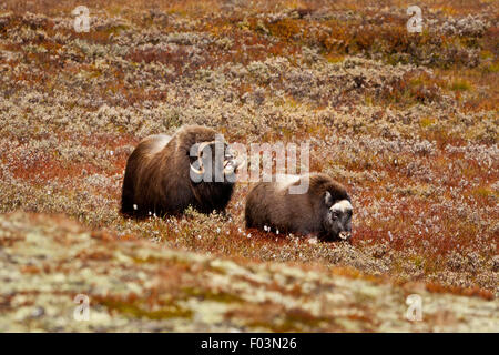 Muskoxen, Ovibos moschatus, adult and young in Dovrefjell national park, Dovre, Norway. - Stock Photo