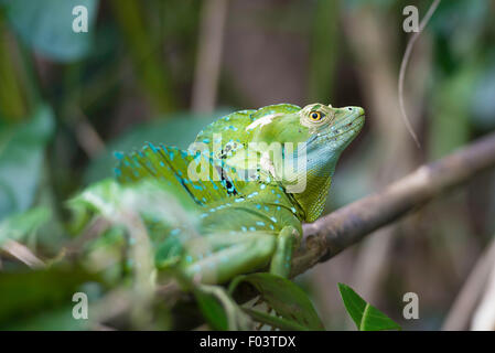 Close up of a plumed basilisk in Costa Rica tropical forest. - Stock Photo