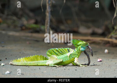 Close up of a plumed basilisk eating an earthworm in Costa Rica tropical forest. - Stock Photo