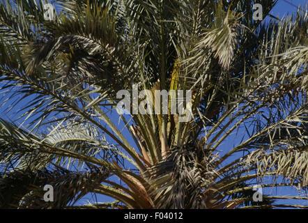 Date palm tree (Phoenix dactylifera), Al-Mani'a or El Golea oasis, Algeria. - Stock Photo