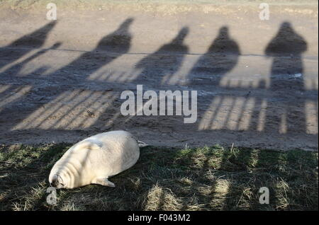 Visitors to Donna Nook Nature Reserve in Lincolnshire watch a grey seal pup - winter, UK - Stock Photo