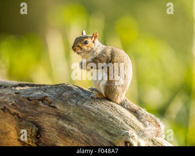 Single Grey Squirrel (Sciurus carolinensis) foraging in natural woodland countryside setting. 'Upright, posing on - Stock Photo