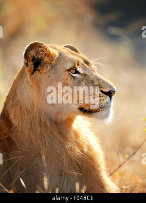 Lioness female (Panthera leo) profile view closeup - Kruger National Park (South Africa) - Stock Photo