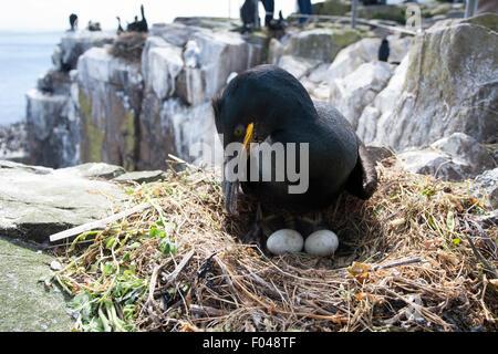 Common Shag (Phalacrocorax aristotelis) on nest with two eggs, Inner Farne, Farne Islands, Northumberland, England, - Stock Photo
