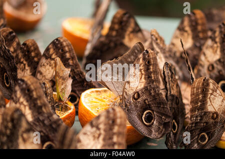 Caligo ' Owl Butterflies' feasting on oranges at Sensational Butterflies Exhibition, Natural History Museum, London - Stock Photo