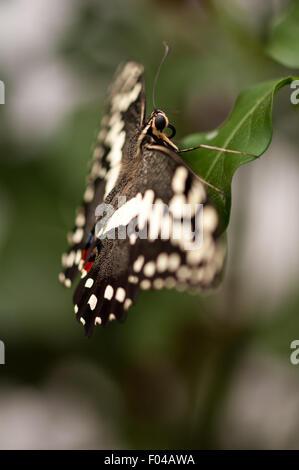 Papilio demoleus ' Lemon Butterfly' resting on a leaf at Sensational Butterflies Exhibition, Natural History Museum, - Stock Photo