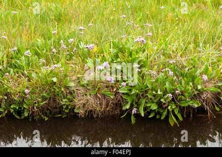 Sea lavender (Limonium vulgare) growing beside a creek on Stiffkey Marshes, Norfolk. - Stock Photo