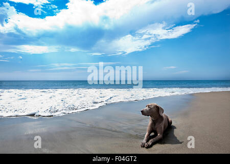 A majestic landscape of Weimaraner dog laying in hard packed sand at oceans edge with big blue sky white clouds - Stock Photo
