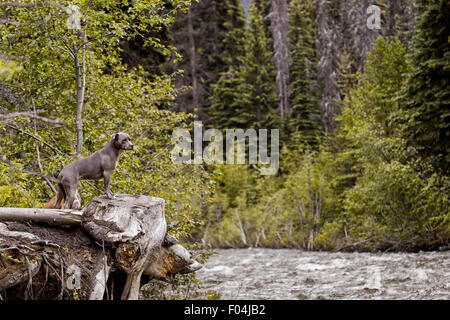 Blue adult Pitbull with front feet up on tree stump at raging rivers edge in fall bloom in forest - Stock Photo