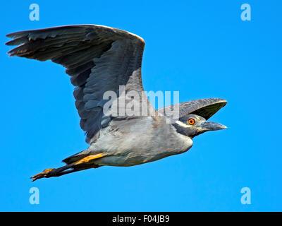 Yellow-crowned Night Heron in Flight - Stock Photo