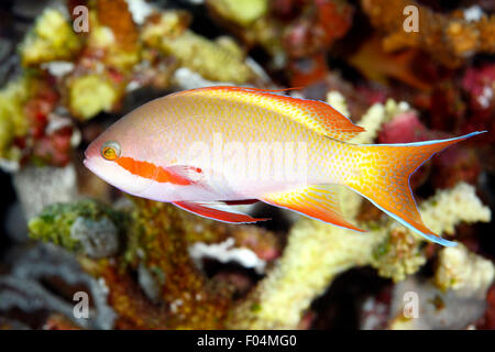 Male Threadfin Anthias, Pseudanthias huchti. Tulamben, Bali, Indonesia. Bali Sea, Indian Ocean - Stock Photo