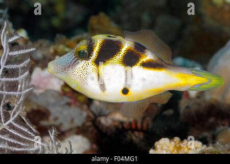 Mimic Filefish, Paraluteres prionurus. These fish mimic the Black-Saddled Toby, Canthigaster valentini. Tulamben, Bali