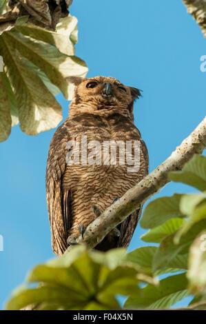 Bubo virginianus, Great Horned Owl, Araras Lodge, Pantanal, Brazil - Stock Photo