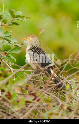 'Guira guira', Guira Cuckoo, Transpantaneira Highway, Pantanal, Brazil - Stock Photo