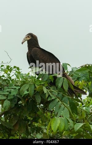 Cathartes burrovianus, Lesser Yellow-headed Vulture, Transpantaneiria Highway, Pantanal, Brazil - Stock Photo