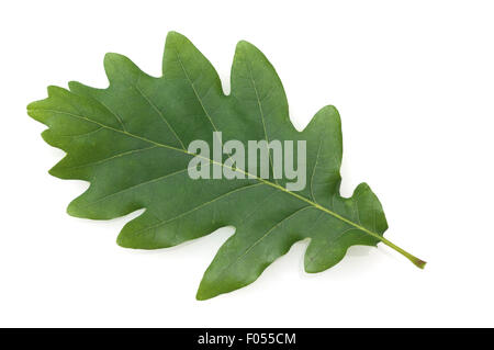 Eichenblatt; Quercus; Robur; - Stock Photo