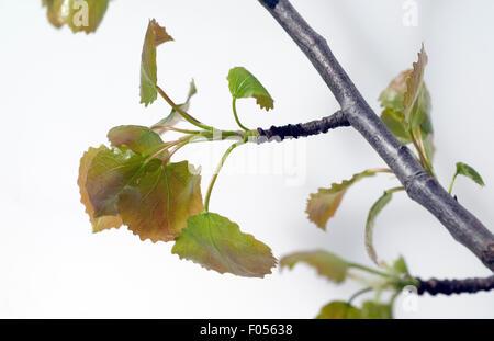 Espenblaetter; Espe; Aspe; - Stock Photo