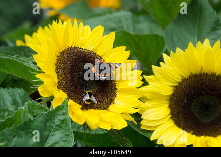 Vanessa atalant . Red Admiral butterfly and  bumblebee on a Sunflower 'Sunrich lemon summer' - Stock Photo