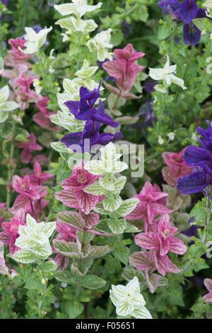 Salvia viridis . Annual Clary sage . Painted sage leaves - Stock Photo
