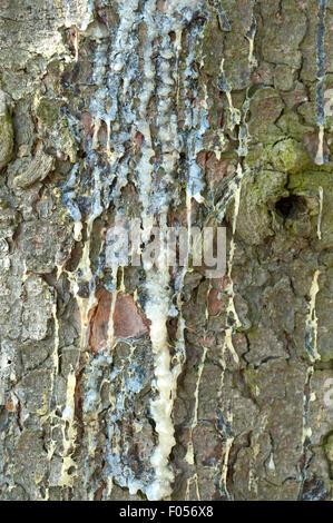 Fichtenstamm, Harz, Picea, abies - Stock Photo