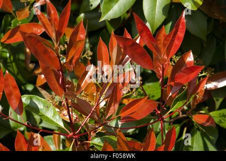 Glanzmispel; Photinia; - Stock Photo