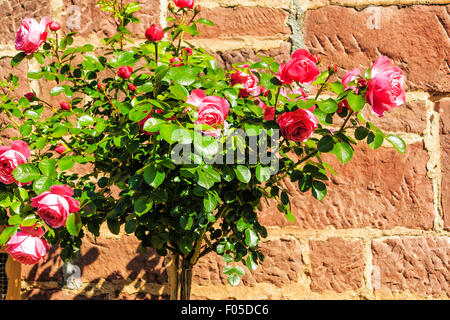 Pink stem roses in front of natural stone wall - Stock Photo