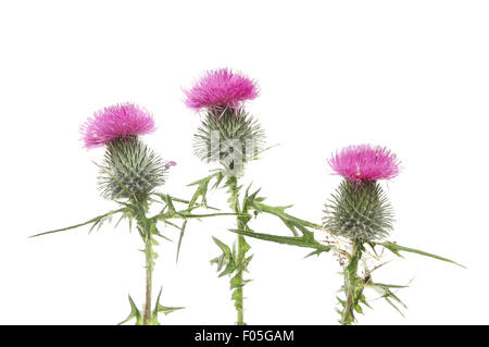 Three purple thistle flowers isolated against white - Stock Photo