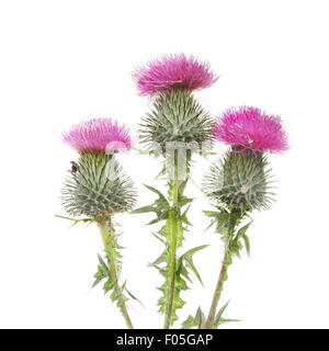 Three Thistle flowers isolated against white - Stock Photo
