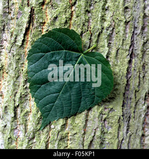Sommerlinde, Lindenblatt, Tilia, platyphyllos, - Stock Photo