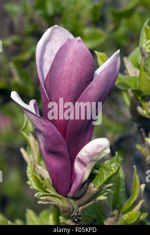Yulan-Magnolien;  Blueten, - Stock Photo