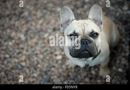Young Male French Bulldog - Stock Photo