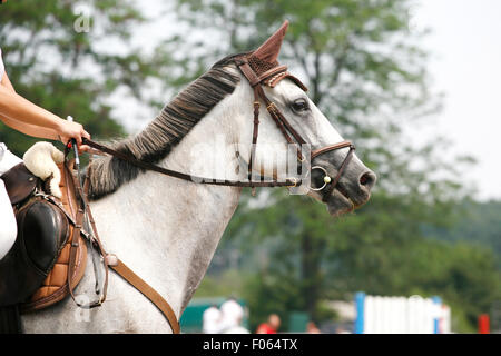 Head-shot of a show jumper horse during competition with jockey - Stock Photo