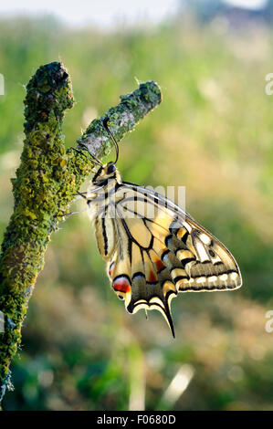 Italy, Lombardy, Countryside of Cremona Province, Old World Swallowtail , Papilio Machaon - Stock Photo