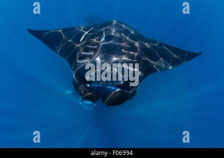 Manta rays, Manta alfredi, feeding near the surface, Manta Sandy, Dampier Strait, Raja Ampat, Indonesia, Pacific - Stock Photo